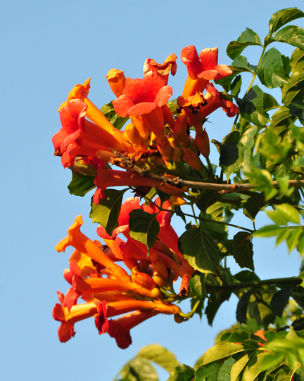 ...the hummingbirds love trumpet vine. Oh how we wish we could grow it without losing the whole garden to its suckering ways, and could be sure it would bloom reliably!