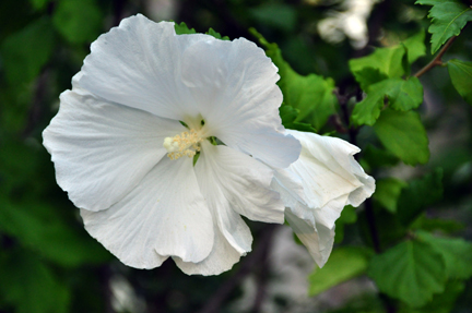 ... ad we look at the trade-off in rose of sharon instead of hydrangea. Here, rose of Sharon (Hibiscus syriacus) 'Diana.'