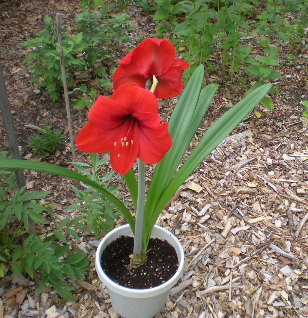 PAge 7 of this issue: An amaryllis bloms thanks to What's up advice...