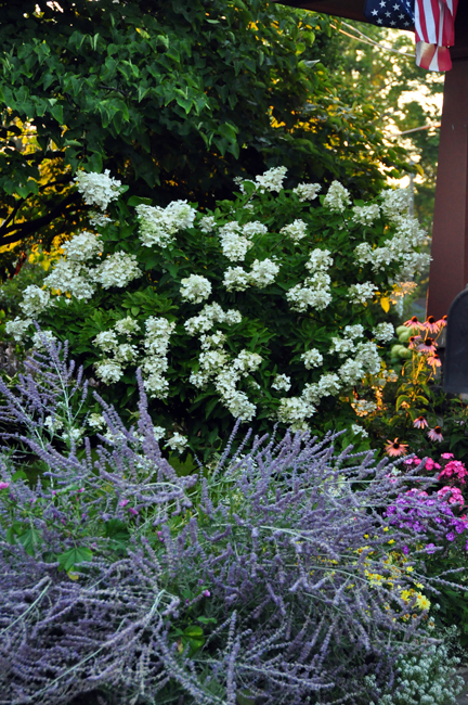 Another possible replacement for summer blooming mophead hydrangea is panicle hydrangea (H. paniculata), a white blooming 6-10' shrub (here behind purple Russian sage).