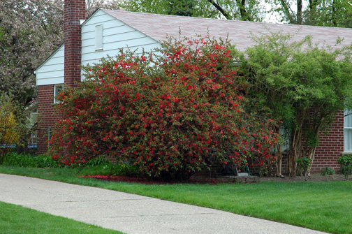 On pages 1-2 of this issue: Many who take on a flowering quince don't realize how big it wants to be, in height and suckering spread. This Chaenomeles speciosa isn't done growing yet -- see the non-blooming tips of the branches? Only when a branch reaches its full genetic potential will it be full of bloom right to the tip.