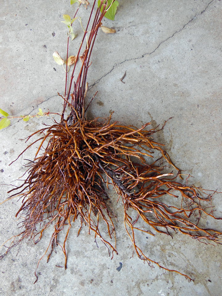 After splitting this cluster of stems away from the mass we rinsed the soil from the roots -- for no other purpose than to show you what we consider to be a very well rooted division.