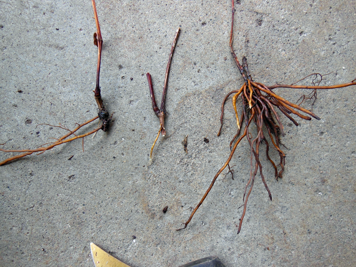 Here are several smaller divisions we sliced out of that root ball. All viable! The smallest will need attention for a longer period of time than the others, but since it's already high summer they all will need more attention than a spring- or fall transplant. The key is to watch them and keep them from drying o