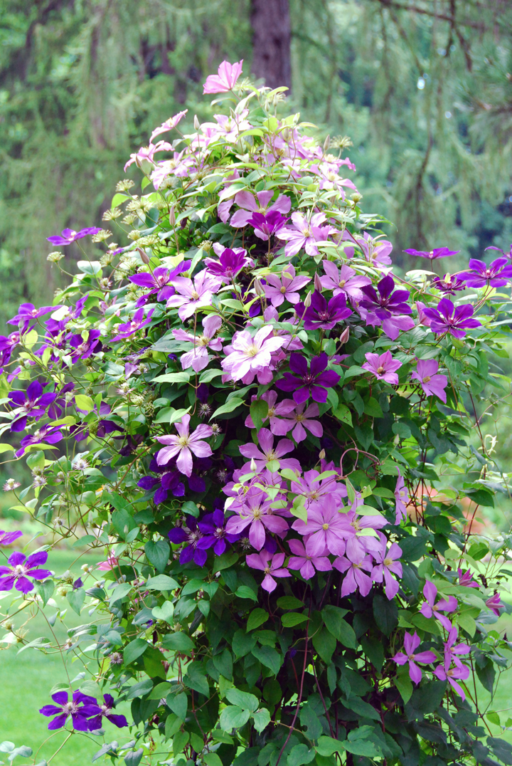 "So beautiful, you don't want to touch it. So you say and that means we ""missed"" in explaining the absolute need to prune clematis firmly and regularly."