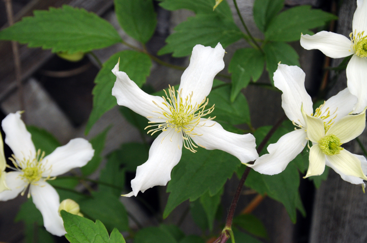 Garden a to z clematis types clematis montana hardy to zone 5 but flower buds often killed by late spring frosts mightylinksfo Gallery