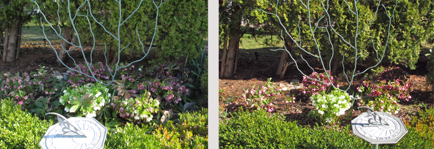 "We've heard people say, ""Oh, not now, you wouldn't want to miss any of this bloom!"" However, if we need white hellebore divisions, bloom time is when we are most sure which plant to dig. Left, with last year's leaves in place. Right, with old foliage cut away. Either way, we really don't lose out if we erase that white blooming clump from the composition."