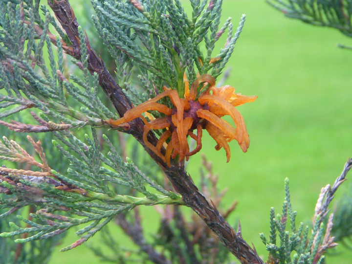 "Sometime soon the rust galls will explode in rust spore production. Watching junipers for the appearance of the ""Horns"" from the galls tells a gardener it's time to protect susceptible crabapples, hawthorns and serviceberry trees."