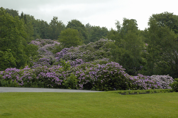 If you live in the American Midwest you may not ever see a 12-15' tall riot of rhododendrons.