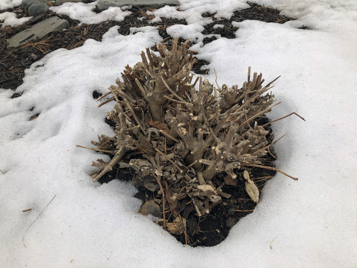 A panicle hydrangea, repeatedly cut back to about six inches, has become a mess of stubs. Some of the wood is dead, its buds crowded out. Most of the stubs are so small in diameter they can only give rise to spindly stems, and those will be so crowded by neighbors they tend to grow out rather than up.