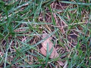 "Mildew can take a toll on lawn, leaving bare spaces where weeds take hold. However, in a lawn which has several types of grass, those that are mildew resistant can be the ""weeds"" that move in where the afflicted grass thinned out."