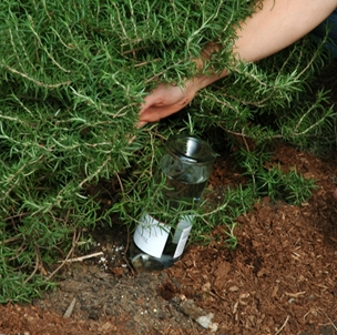 Now you see it, a long necked wine bottle full of water to help this rosemary through dry times...