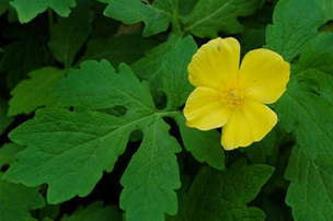 Celandine poppy or wood poppy (Stylophorum diphyllum) is a great perennial addition to a shady Great Lakes garden.