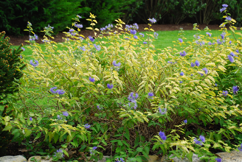 We will replant the gold leaf caryopteris. That blue flower, gold foliage combo is worth it even if we must treat the plant as an annual.