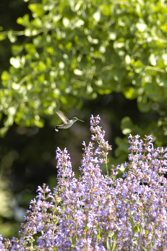 We will miss the sage, always the hummingbird's regular stop while in bloom. But we'll plant another. It will grow!