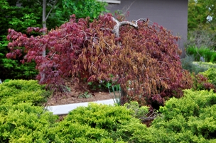 Many landscapes are built around a Japanese maple, so when they're damaged, even non-gardeners take note. If a tree that's important to you lost some or all of its leaves to frost this spring, read on. Then you can help the tree recover and also know what to say to protect it from the saws and axes of impatient, uninformed others.