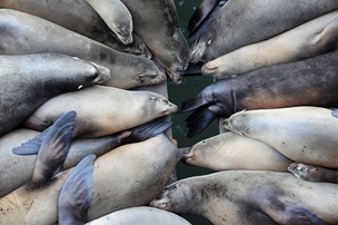 Sea lions bask on the Santa Cruz wharf: Aligned to keep up with all the news!