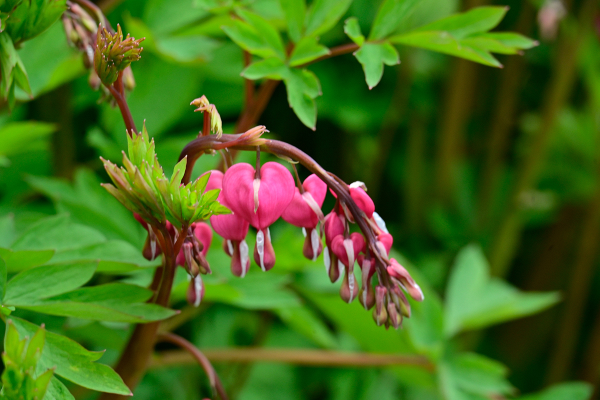 Old fashioned bleeding heart (Dicentra spectabilis)