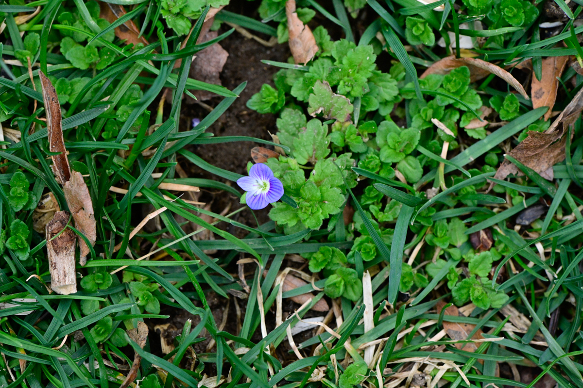 Creeping speedwell (Veronica repens)