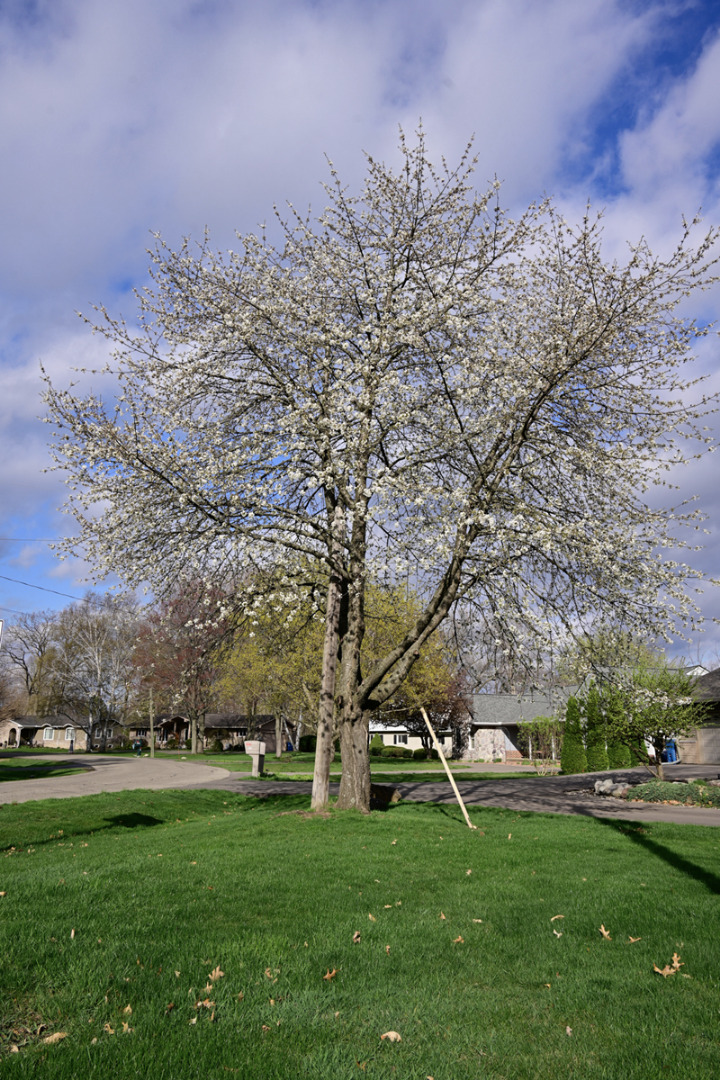 This 45' white-blooming cherry was once a 15' pink weeper.