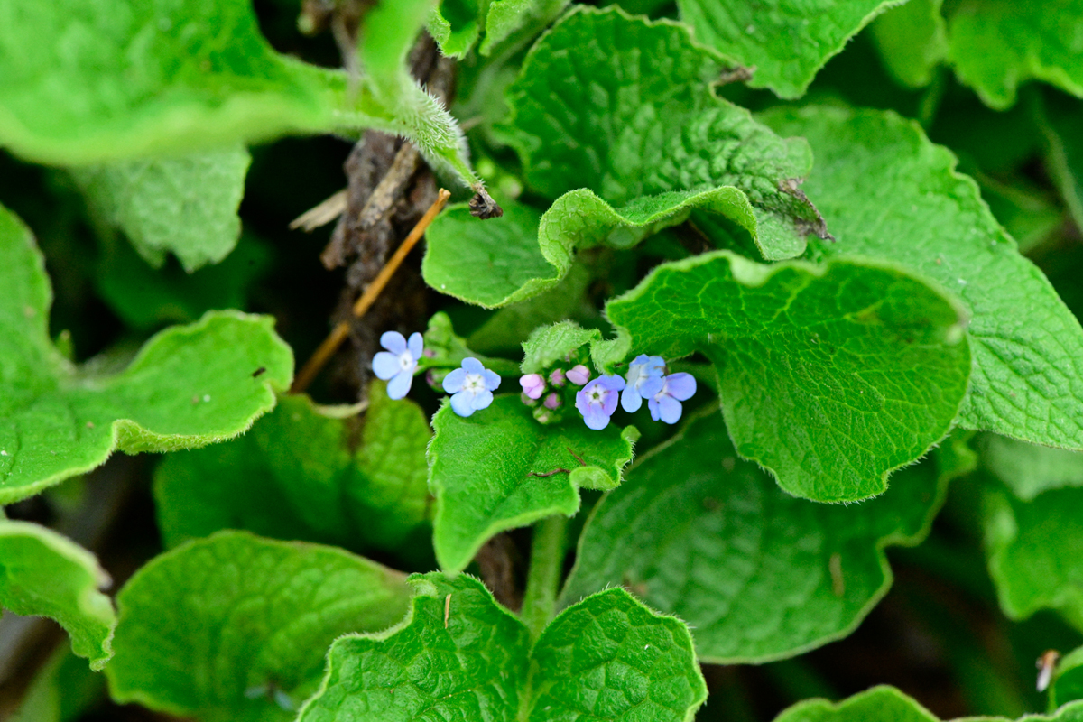 Bigleaf forget-me-not (Brunnera macrophylla)