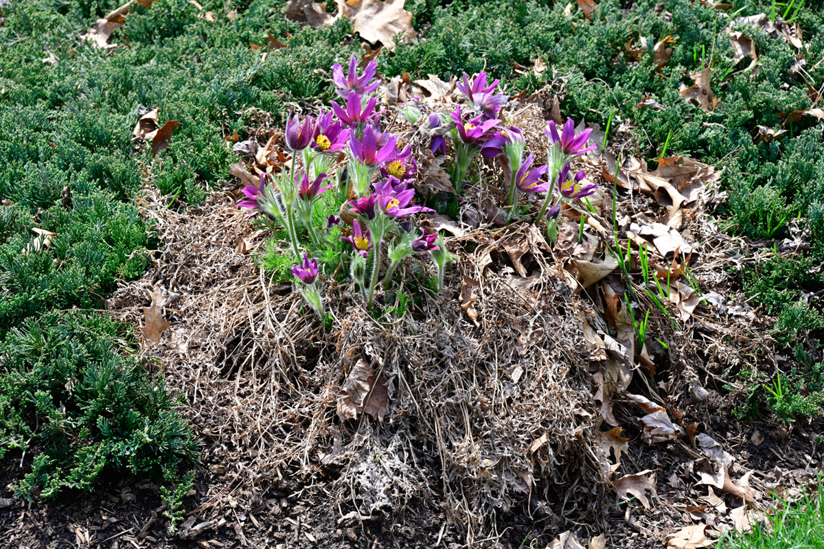 Usually, we cut away pasqueflower's greenery at year end. Here where we did not we get the idea how it looks in bloom in the wild.