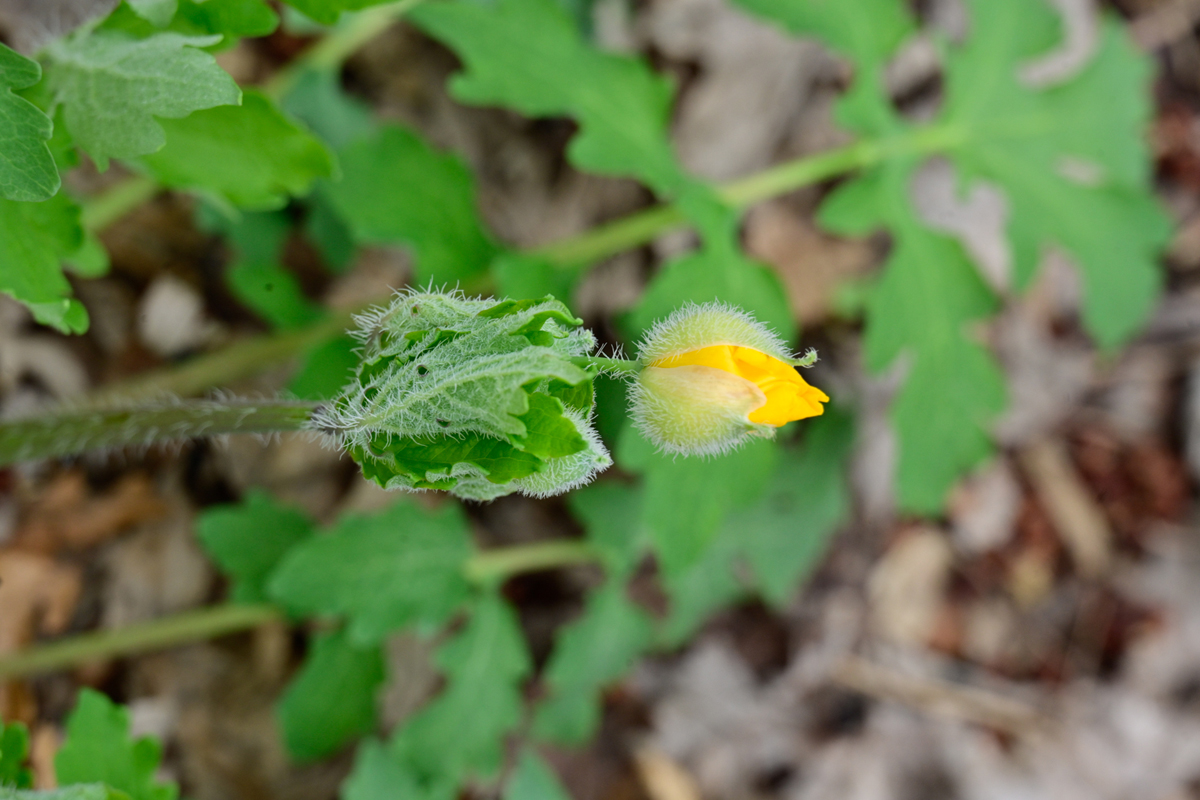 Wood poppy (Stylophorum diphyllum)